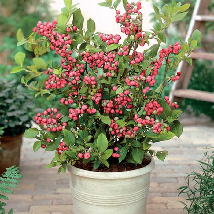 Pink Lemonade Blueberry Bush