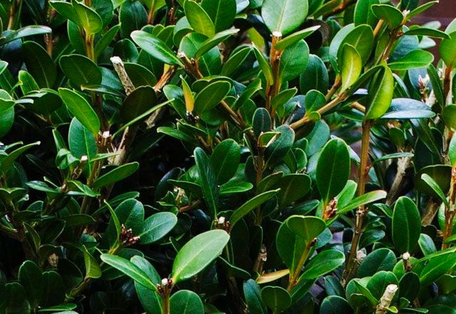 Wintergreen Boxwood for Sale