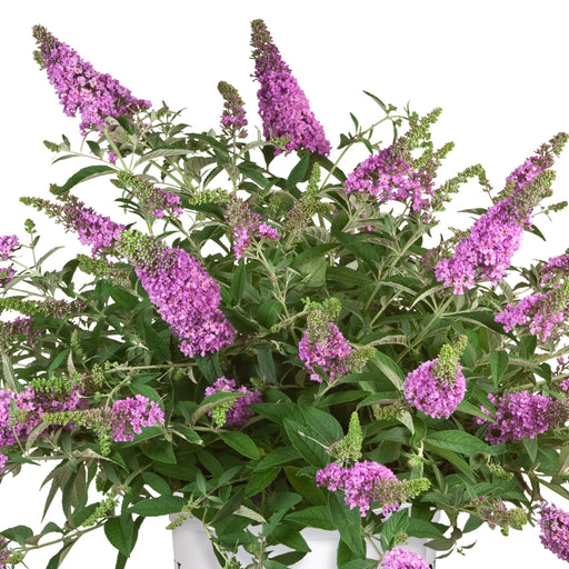 Lo & Behold Lilac Chip Butterfly Bush