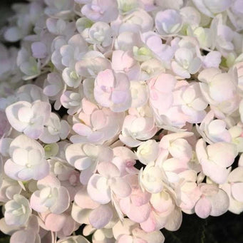 Blushing Bride Endless Summer Hydrangea