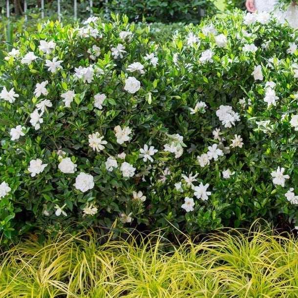 Jubilation Gardenia Hedge