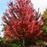 Brandywine Maple Tree