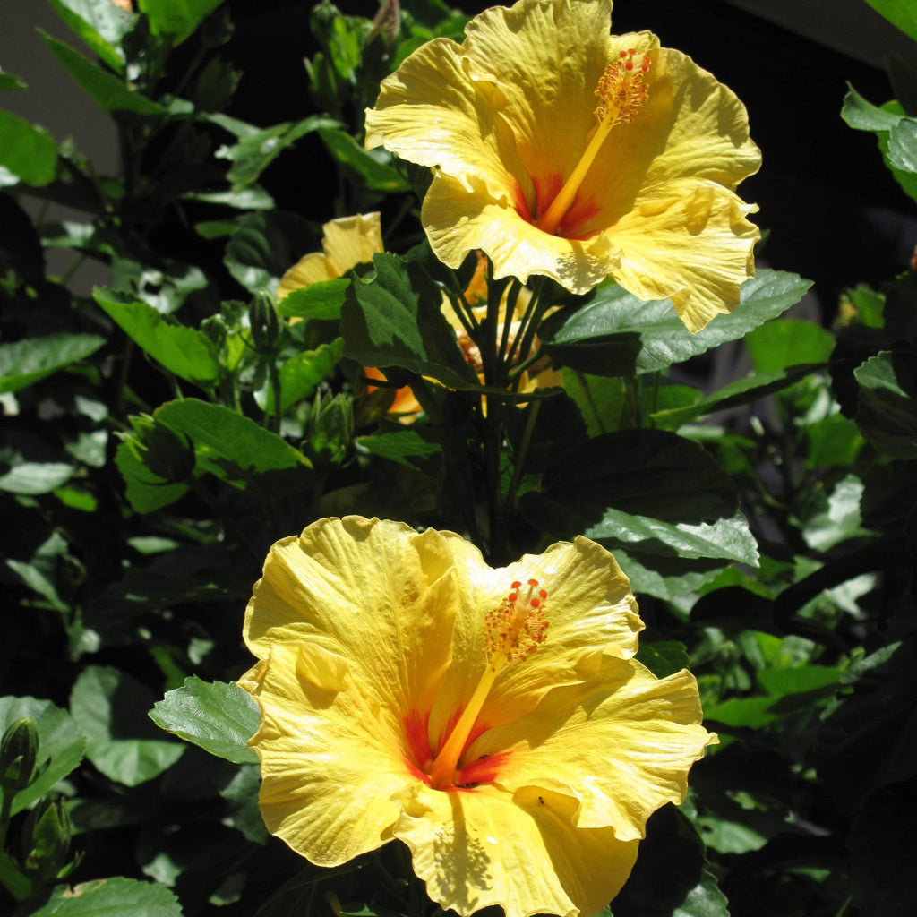 Yellow Hibiscus Bush Large Bright Yellow Flowers Plantingtreecom
