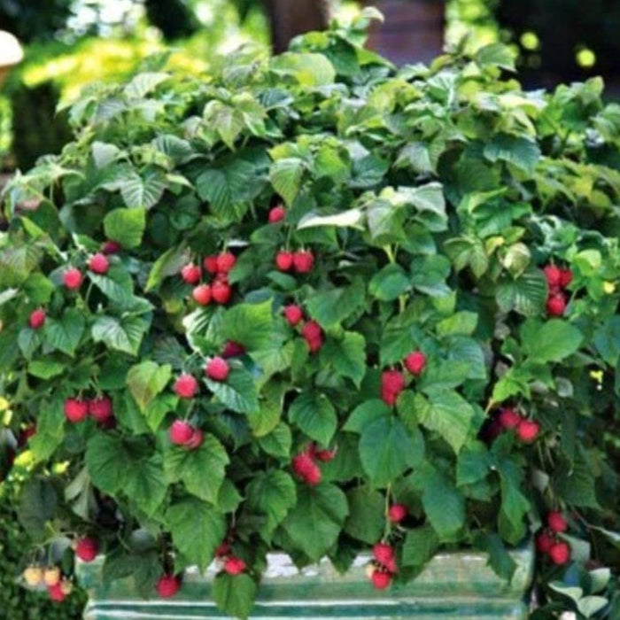 Bushel And Berry Raspberry Shortcake Plantingtree Com