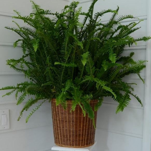 Kimberly Queen Fern A Touch Of Sophistication