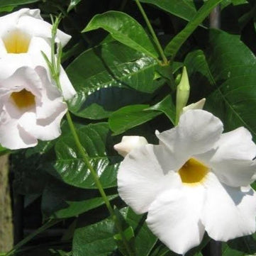 Flowering White Mandevilla Vine