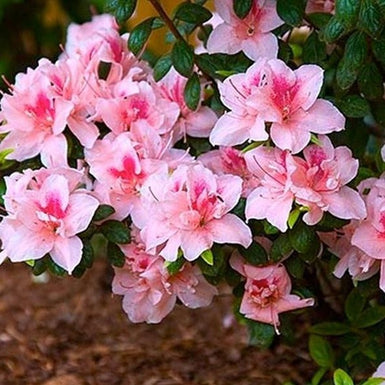 Autumn Belle Encore Azalea