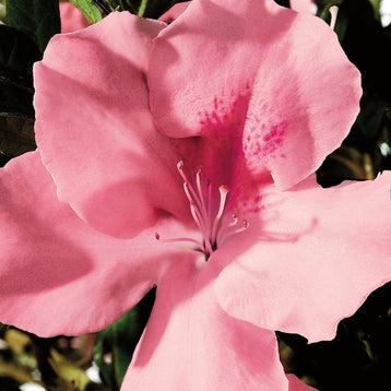 Autumn Debutante Encore Azalea (photo by Encore® Azalea)