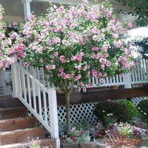 Double Pink Rose of Sharon Tree