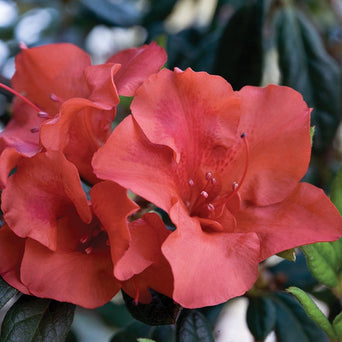 Autumn Embers Encore Azalea (photo by Encore® Azalea)