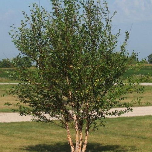 River Birch Tree for Sale
