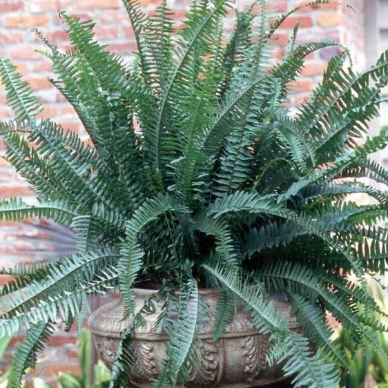 Kimberly Queen Fern A Touch Of Sophistication Plantingtree Com