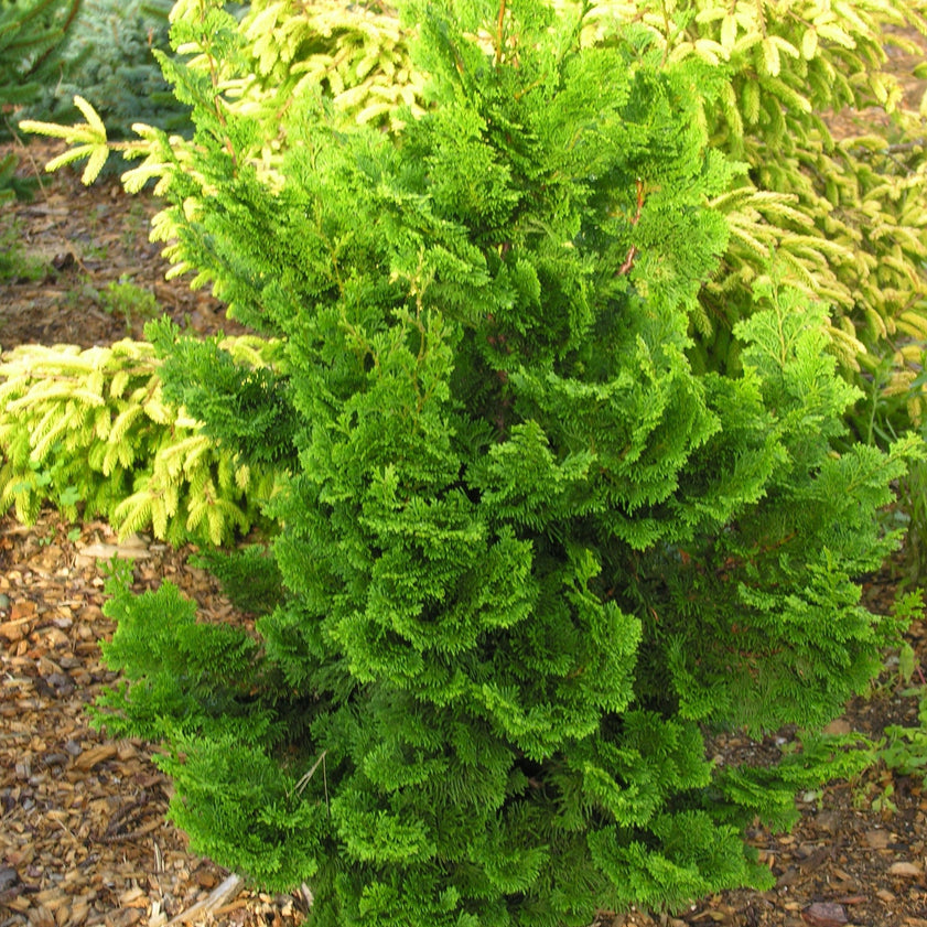 Vokel's Upright Hinoki Cypress