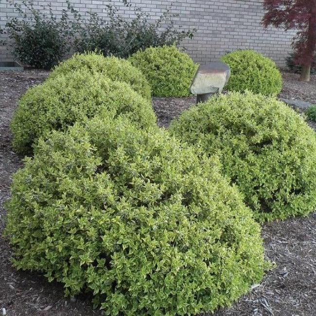 Abelia Radiance Vibrant Color That Really Pops Plantingtreecom
