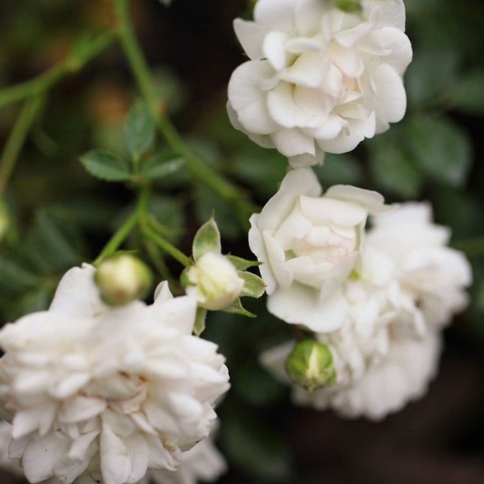 White Drift Rose
