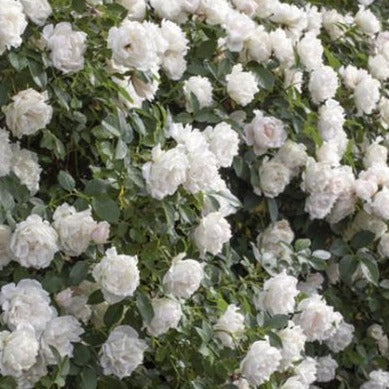 Icecap™ Rose Tree