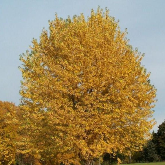 Silver Maple Trees for Sale