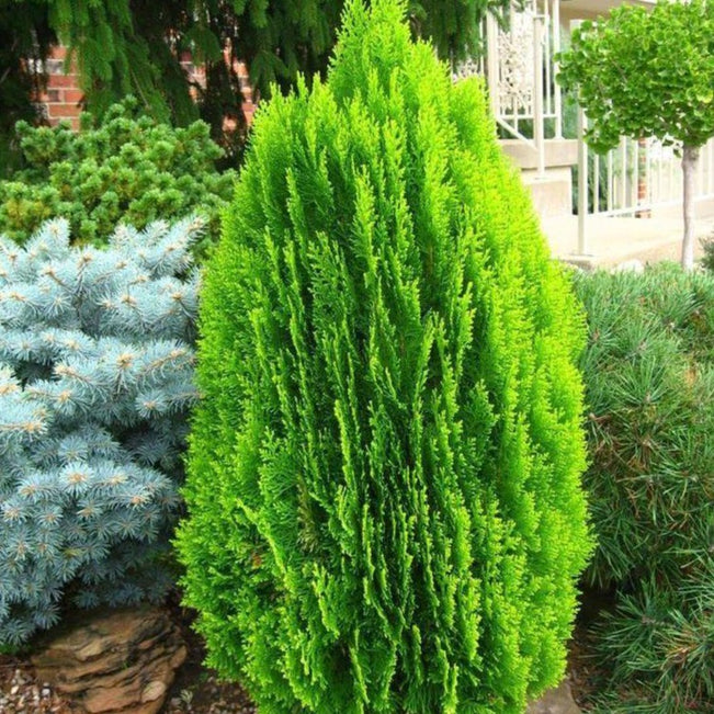Morgan Chinese Arborvitae