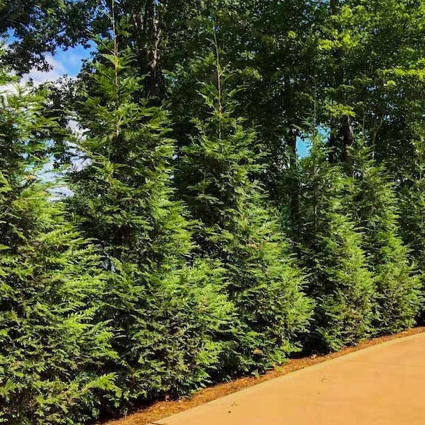 Green Giant Evergreen Trees