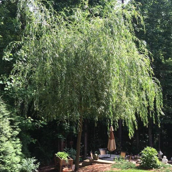 Weeping Willow Shade Tree for Sale