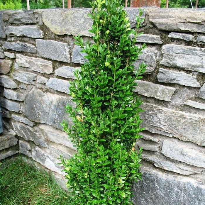 Graham Blandy Boxwood