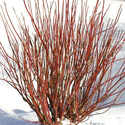 Arctic Fire\u00ae Red Twig Dogwood