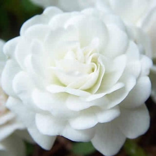 Icy White Drift Rose