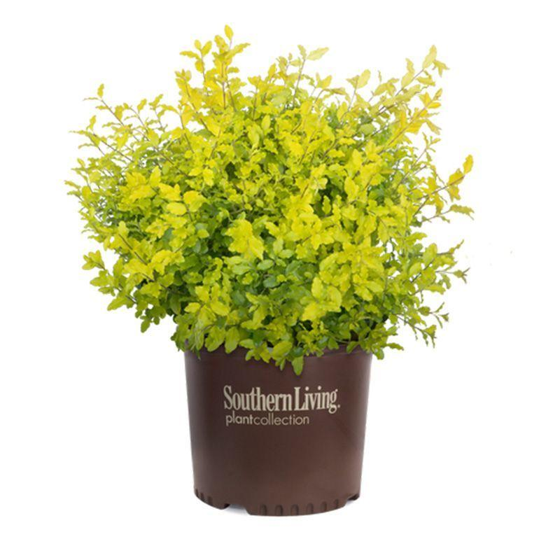 Sunshine Ligustrum Southern living 2 gallon