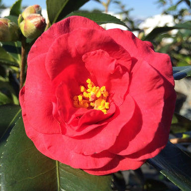 Hot Flash Camellia