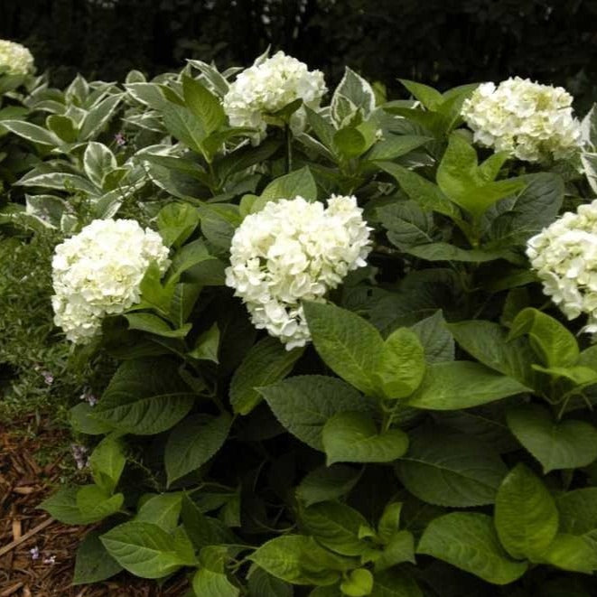 Blushing Bride Hydrangea for Sale