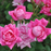 Pink Double Knock Out® Rose