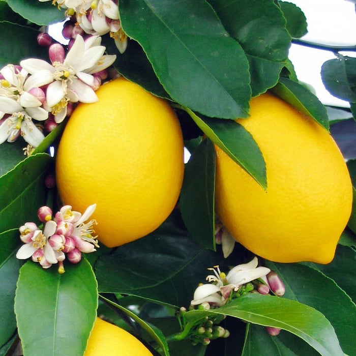 Meyer Lemon Tree - Girl With Lemons