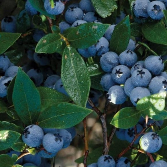 Pictures Of Blueberries Bushes