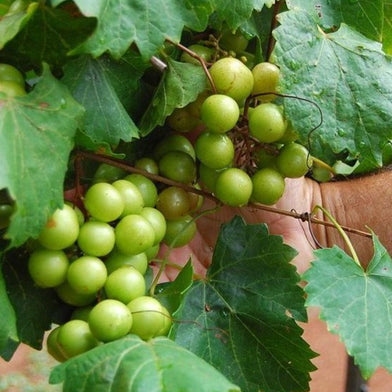Scuppernong Grape Vine