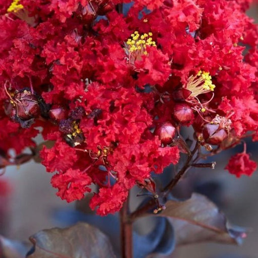 Black Diamond\u00ae Red Hot\u2122 Crape Myrtle Tree