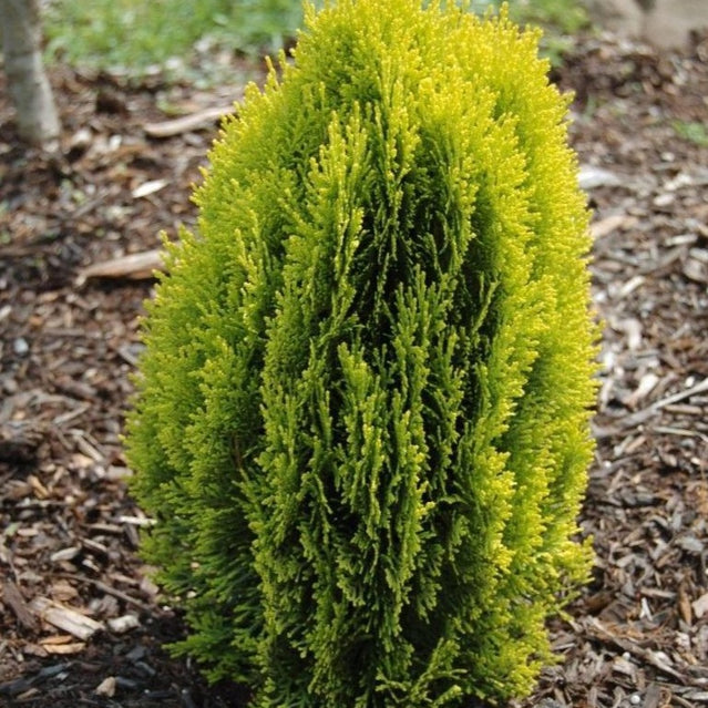 Morgan Chinese Arborvitae for Sale