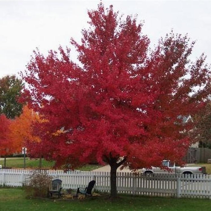 Red Sunset Maple for Sale