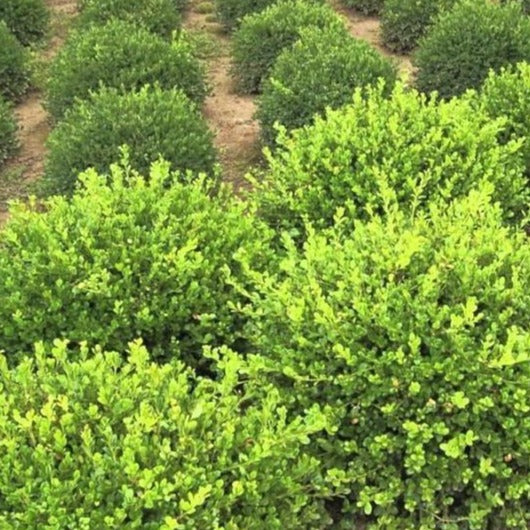 Winter Gem Boxwood for Sale