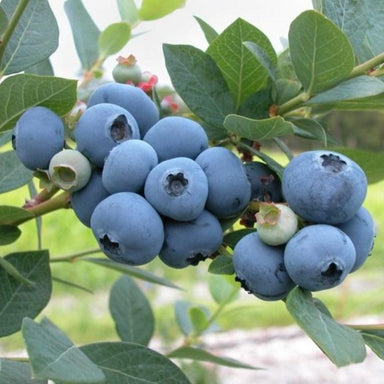 Blueray Blueberry Bush