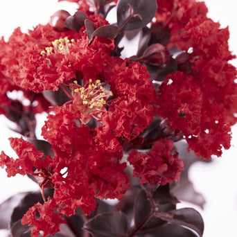 Black Diamond\u00ae Best Red\u2122 Crape Myrtle Tree
