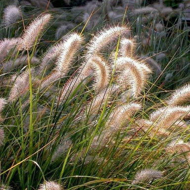 Cassian Dwarf Fountain Grass