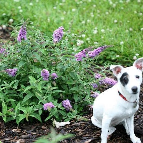 Lo & Behold\u00ae Lilac Chip Butterfly Bush