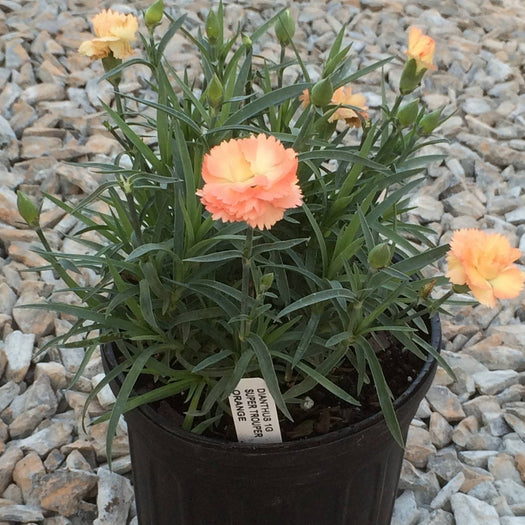 Super Trouper Orange Dianthus