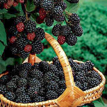 Navajo Blackberry