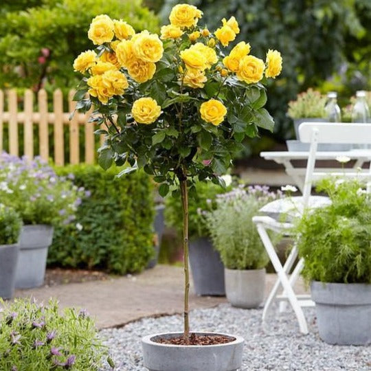 Yellow Sunblaze\u00ae Miniature Rose Tree