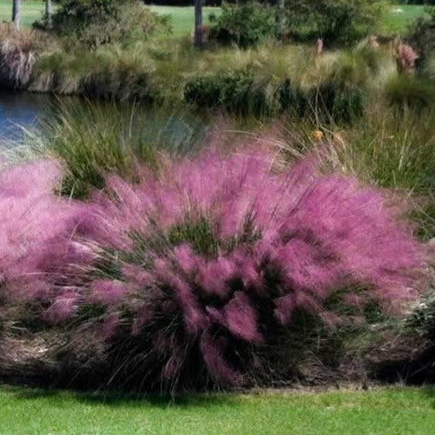 Pink Cotton Candy Muhly Grass