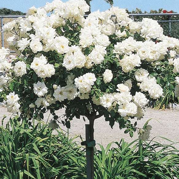 Icecap Rose Tree