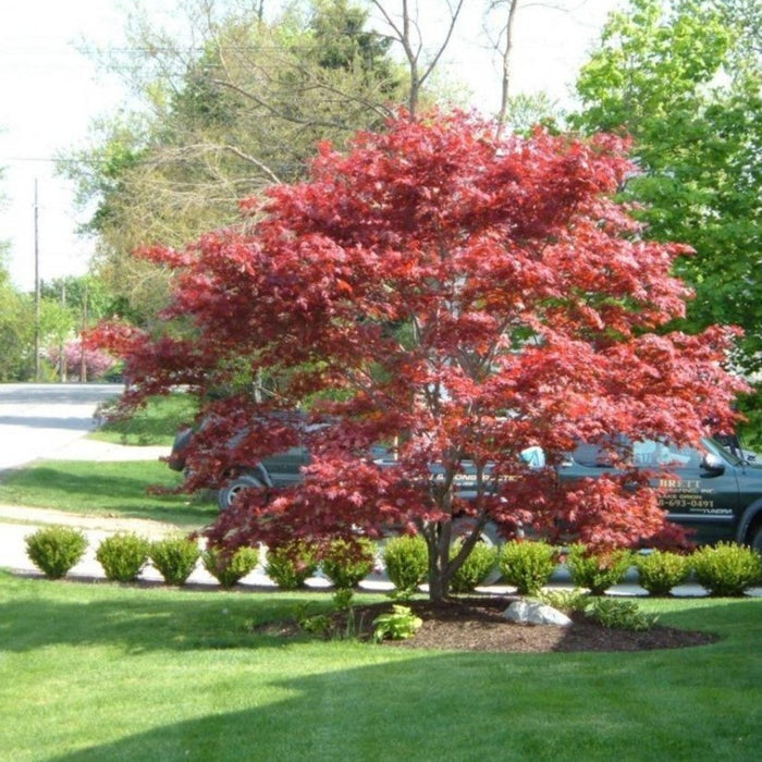 Bloodgood Japanese Maple Plantingtree Com