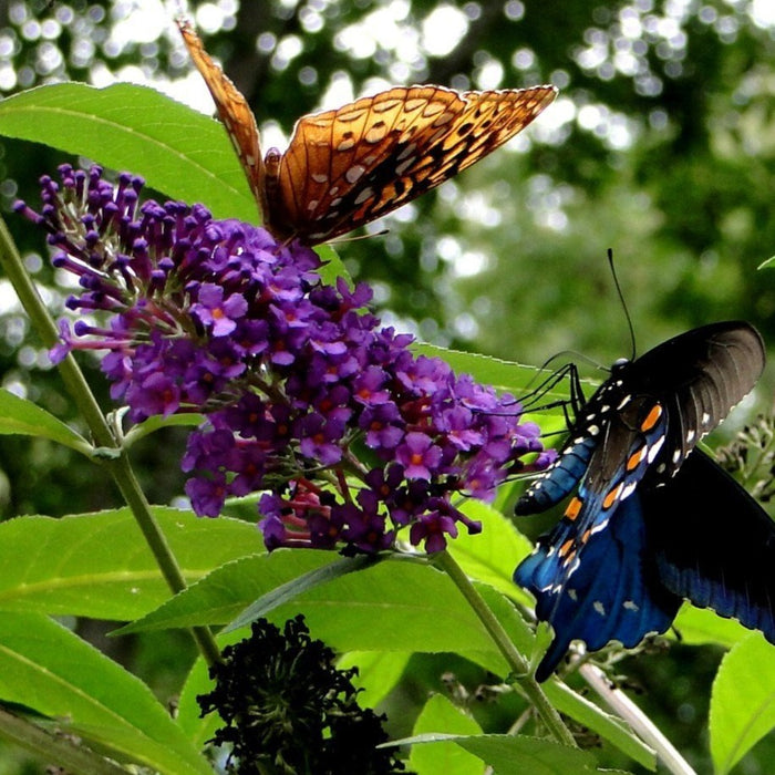 Black Knight Butterfly Bush