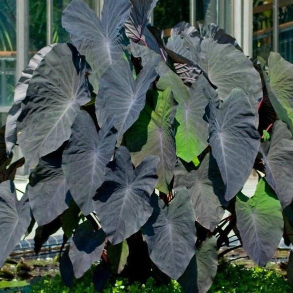 Black Magic Elephant Ear